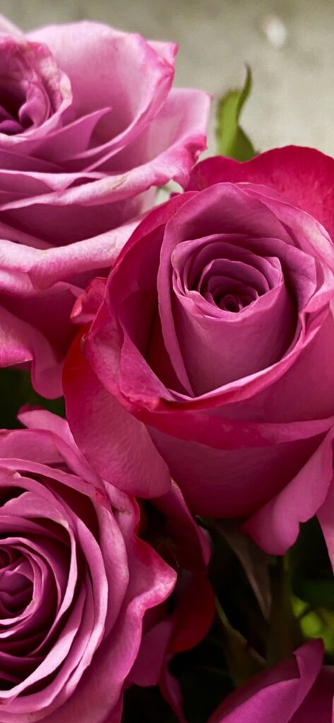 A vivid close-up of pink tea roses with darker pink edges. Some edges of hot green leaf and cool green grey ground.
